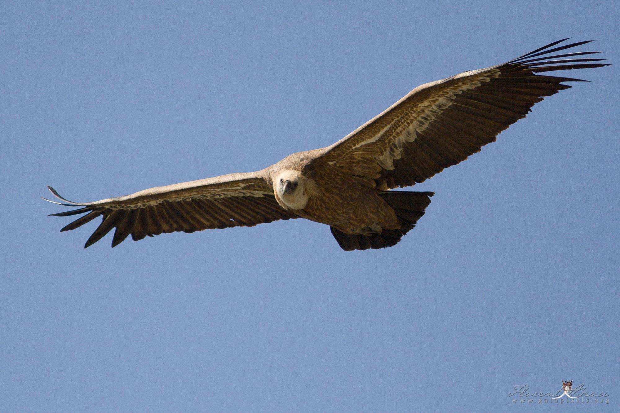 portrait vautour fauve